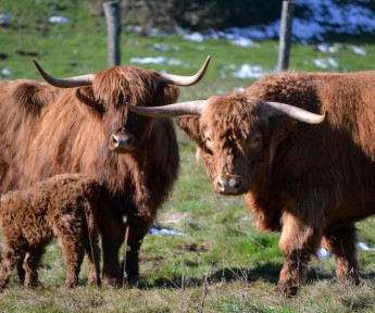 Vaches Highland